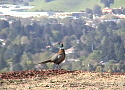 Scenic Videos Collection One: Ring Necked Pheasant