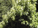 Scenic Videos Collection Two: Honey Bee in the Pepper Tree